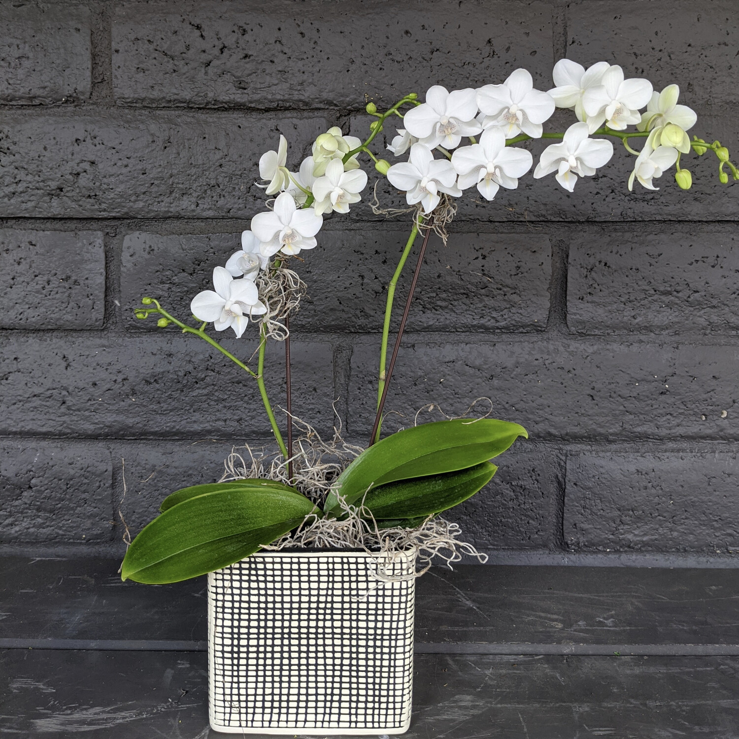 MINI PHALAENOPSIS ORCHID: WHITE IN CUBE