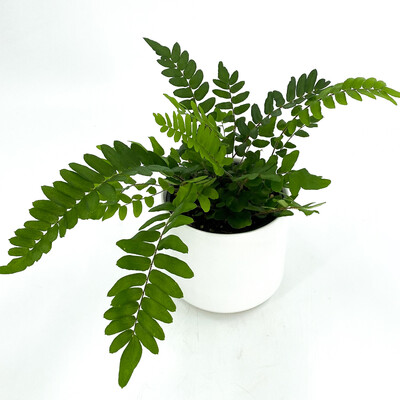 "4"" FERN IN WHITE POT"