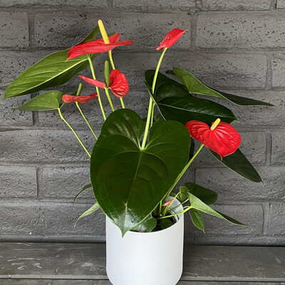 ANTHURIUM: RED