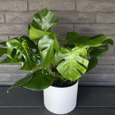 LARGE MONSTERA IN WHITE CERAMIC POT
