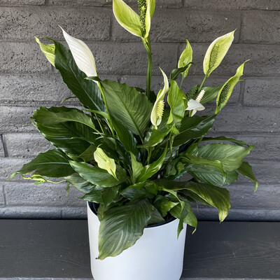 LARGE PEACE LILY IN WHITE POT