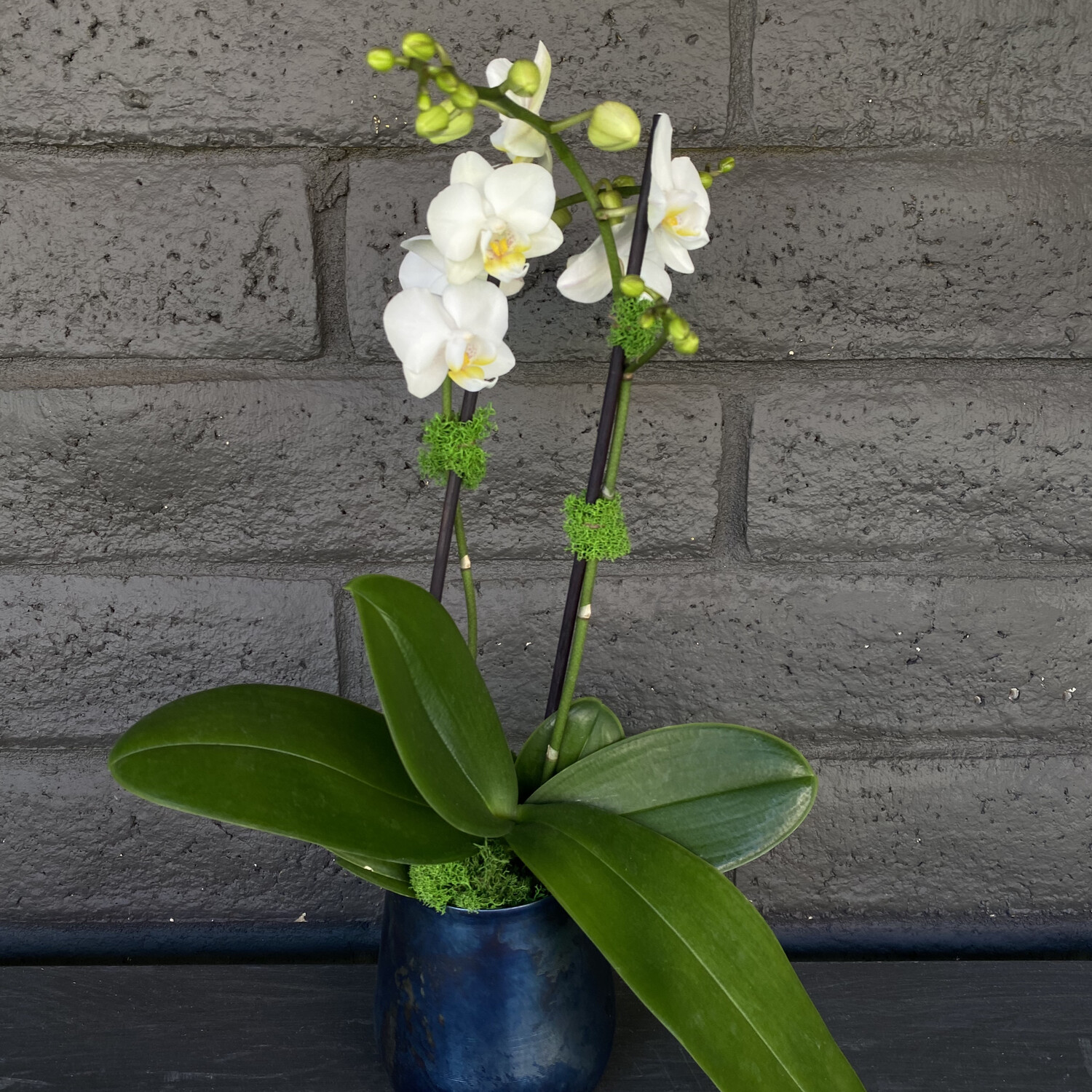 MINI PHALAENOPSIS ORCHID: WHITE IN ONYX POT