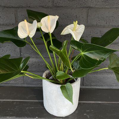 ANTHURIUM: WHITE
