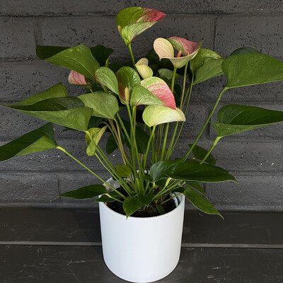 ANTHURIUM: PINK & GREEN