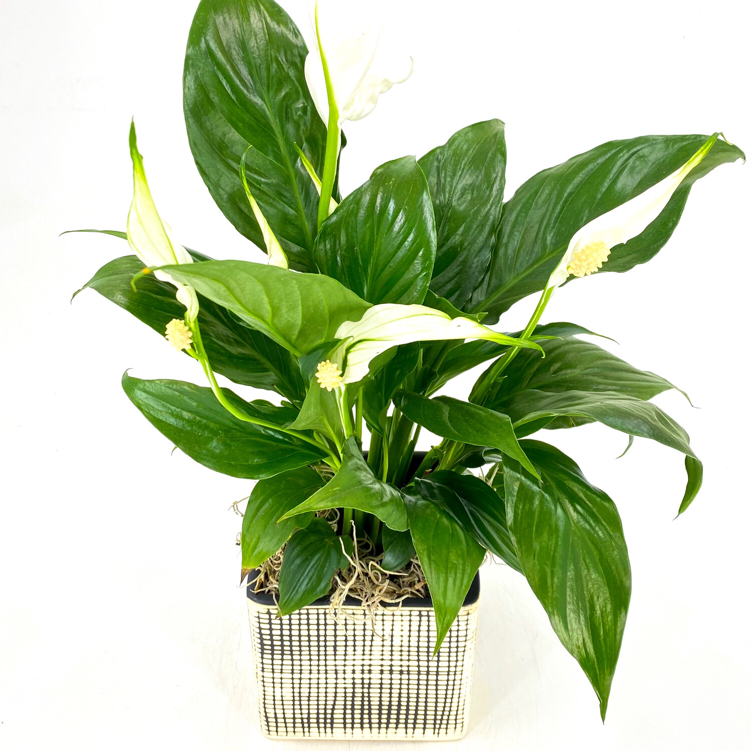 """4"""" PEACE LILY IN CHECKERED POT"""