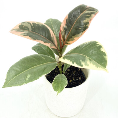 """4"""" PINK RUBBER TREE IN POT"""