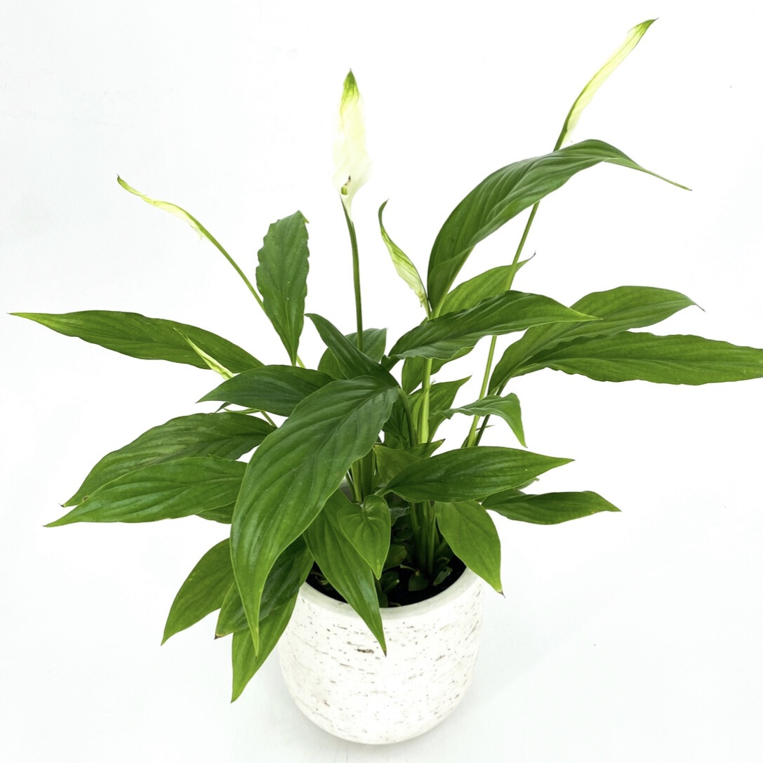 """4"""" PEACE LILY IN POT"""