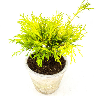 "4"" GOLDEN MOP CYPRESS IN POT"