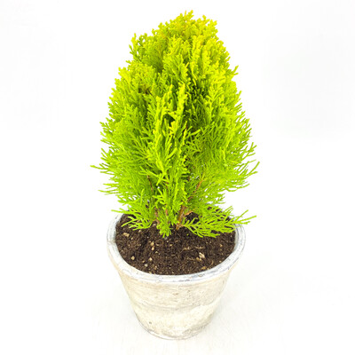 "4"" ARBORVITAE IN POT"