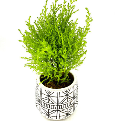"4"" LEMON CYPRESS IN POT"