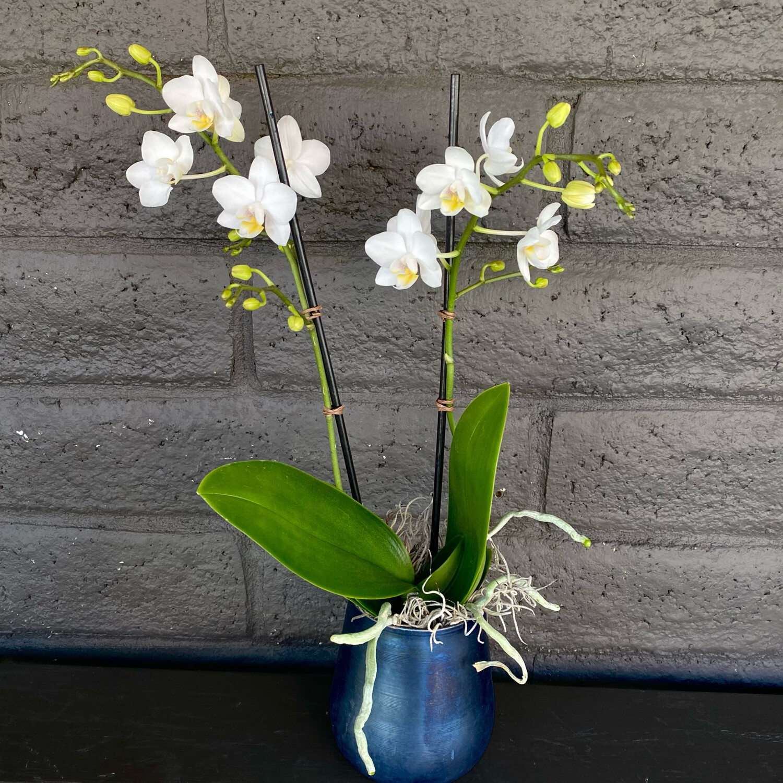 MINI PHALAENOPSIS ORCHID: WHITE IN ONYX POT