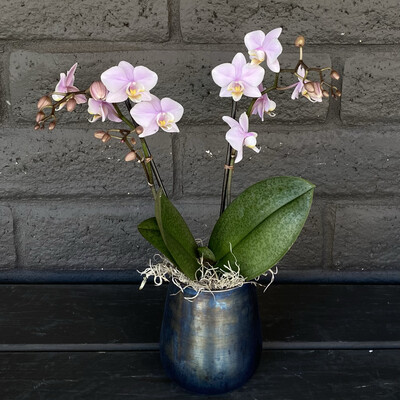 MINI PHALAENOPSIS ORCHID: LAVENDER IN ONYX POT