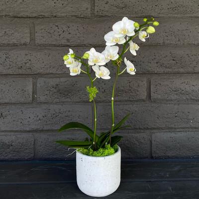 MINI PHALAENOPSIS ORCHID: WHITE