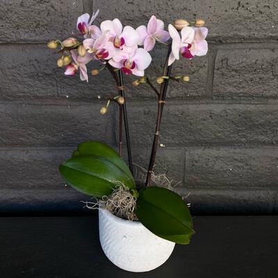 MINI PHALAENOPSIS ORCHID: BERRY