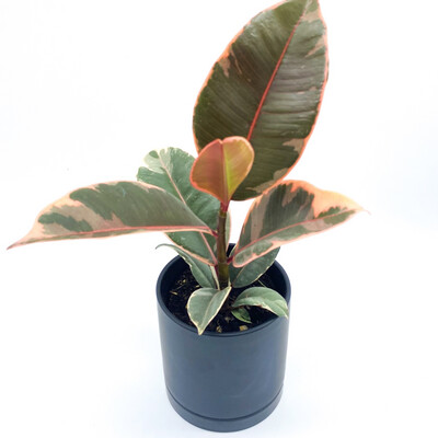 """4"""" POTTED FICUS RUBBER TREE"""