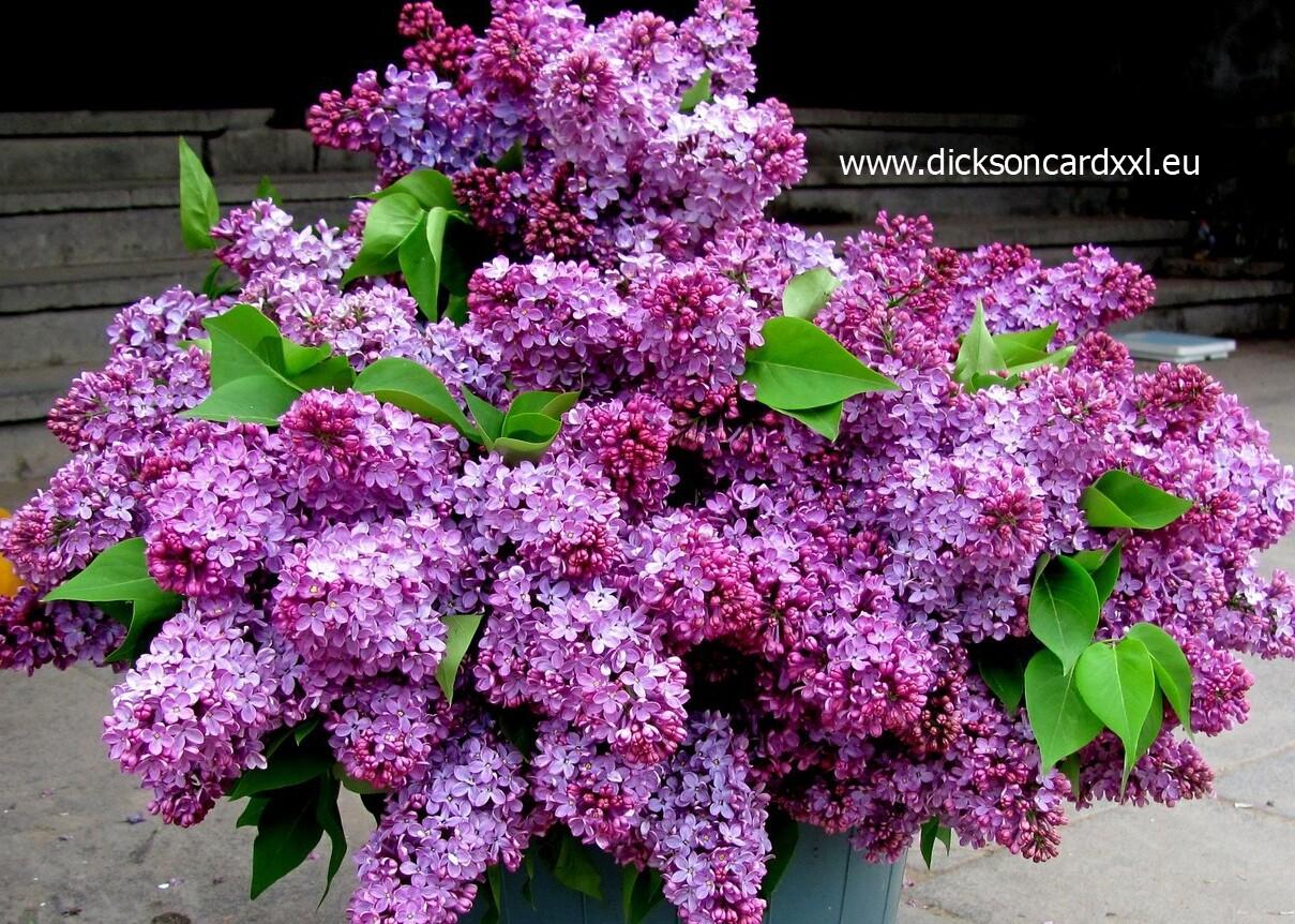 Bouquet of lilacs. Букет сирени