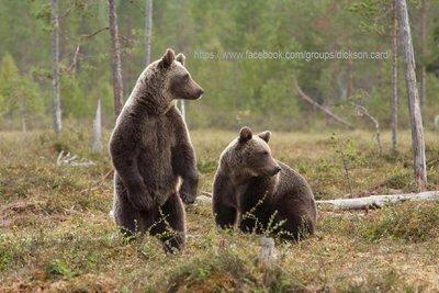 Bears brown.