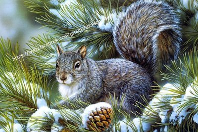 Postcard Squirrel in winter spruce branches