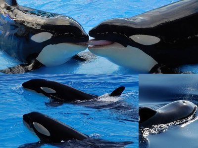 Killer whales, collage