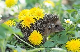 Hedgehog in dandelions