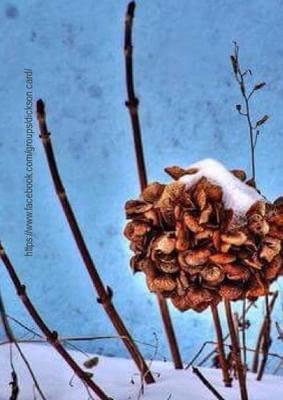 Hydrangea from   N.Chernenko