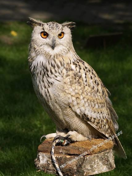 🦉 Owl with bridle