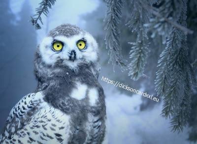 Snow owl 🦉