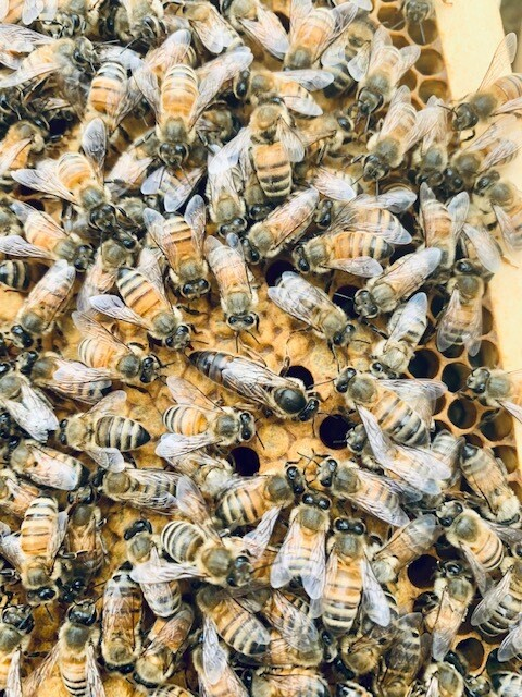 2021 Queen Bee (mated)