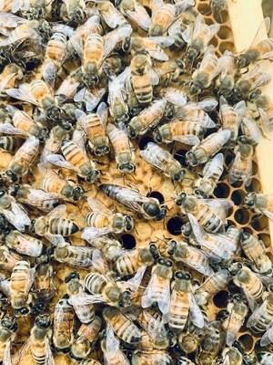 2020 Queen Bee (mated)
