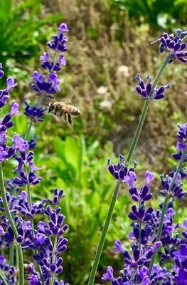 Honeybee on Lavender Canvas