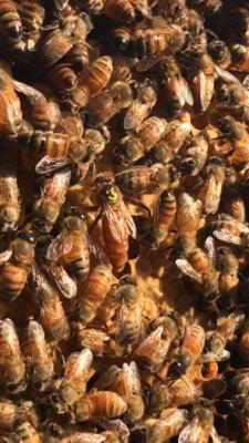 Bohemia Queen Bee Canvas