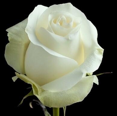 Белая роза 80 см