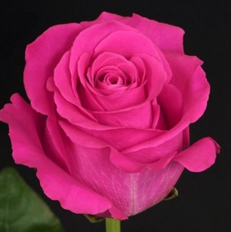 """Дерзкая роза """"Pink Floyd"""""""