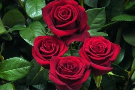 Роза Эксплорер 70-80 см