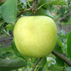 Apple Trees Golden Delicious