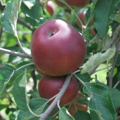 Apple Trees Red Jonathon