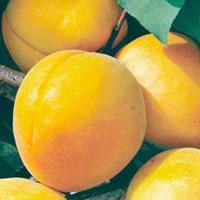 Apricot Tree Dwarf Trevatt