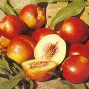 Nectarine Tree Fantasia