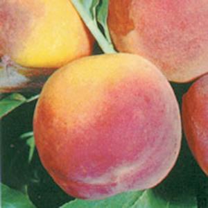 Peach Trees Dwarf Elberta