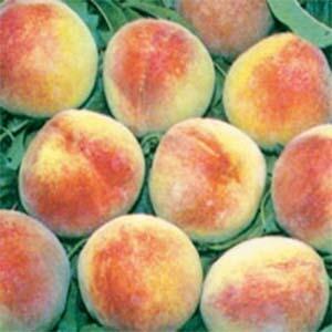 Peach Trees Dwarf O'Henry