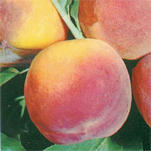 Peach Trees Elberta