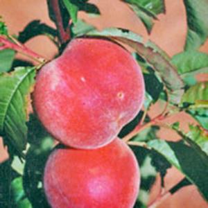 Peach Trees Springcrest
