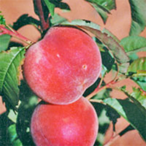 Peach Trees Springcrest