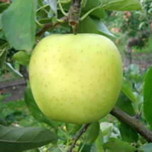 Apple Trees Dwarf Golden Delicious