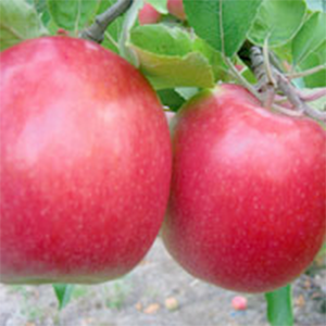 Apple Trees Dwarf Pink Lady