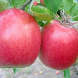 Apple Trees Dwarf Pink Lady