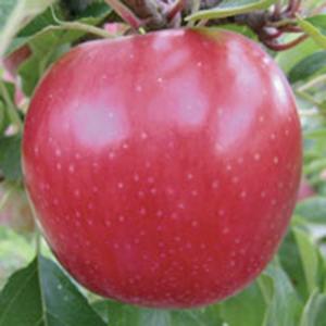 Apple Trees Sundowner