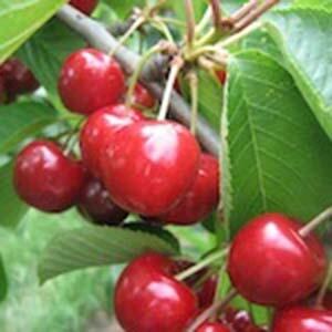 Cherry Tree Dwarf Lapins