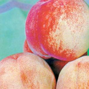 Peach Trees Dwarf Anzac