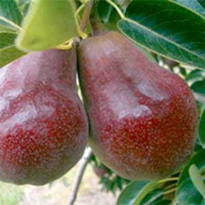 Pear Trees Dwarf Sensation